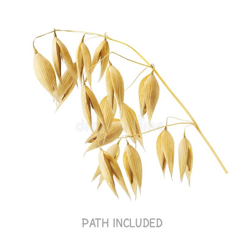 Testa gialla dell'avena isolata su fondo bianco immagini stock