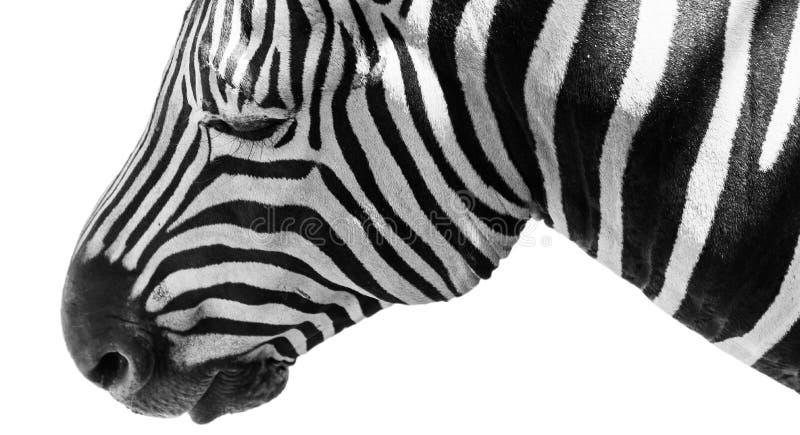 Testa isolata della zebra fotografia stock libera da diritti