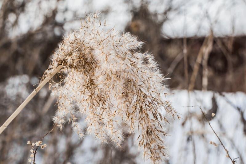 Testa lanuginosa gialla e bianca asciutta del seme della canna di phragmites australis nell'inverno su una neve bianca e fondo va immagine stock libera da diritti
