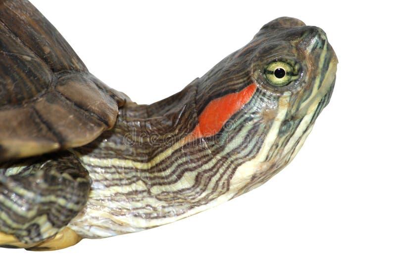 Testa rossa della tartaruga dell'orecchio fotografia stock libera da diritti