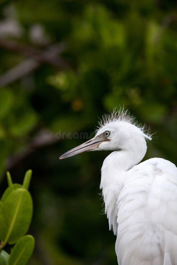 Testa sfocata di giovane grande ardea dell'uccello dell'egretta alba immagini stock libere da diritti