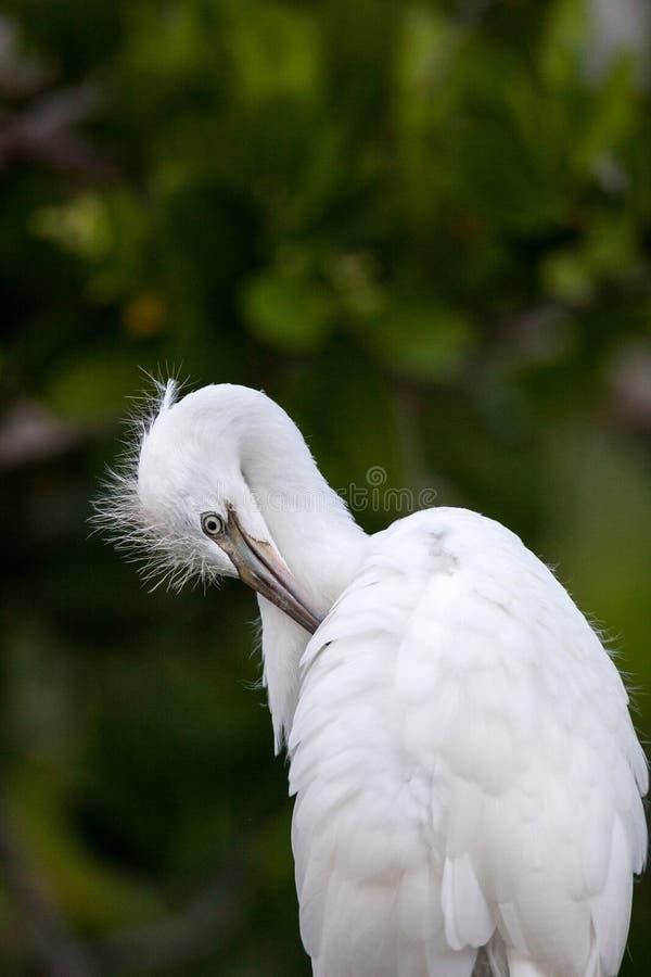 Testa sfocata di giovane grande ardea dell'uccello dell'egretta alba fotografie stock libere da diritti