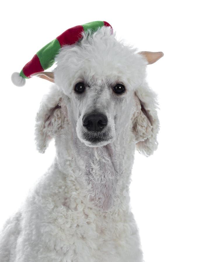 Testa sparata di re agghindato Poodle del whie su bianco fotografia stock libera da diritti
