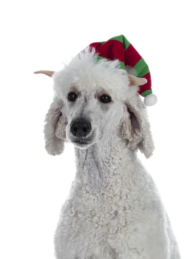 Testa sparata di re agghindato Poodle del whie su bianco immagini stock