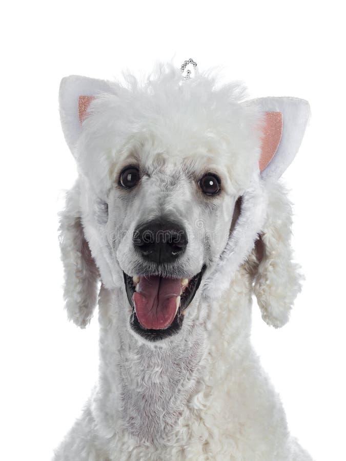 Testa sparata di re agghindato Poodle del whie su bianco fotografia stock