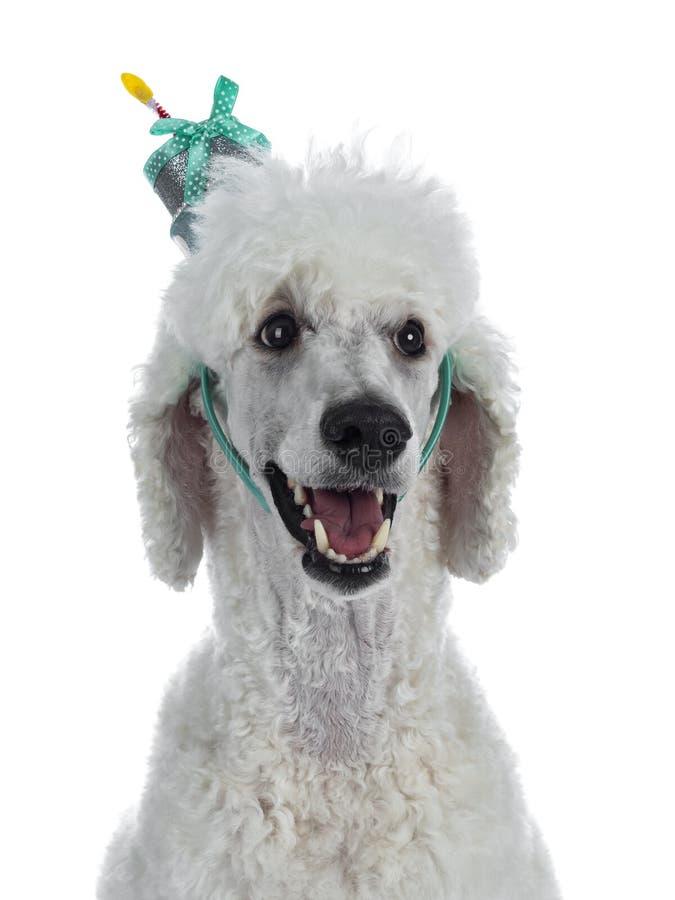 Testa sparata di re agghindato Poodle del whie su bianco immagine stock libera da diritti