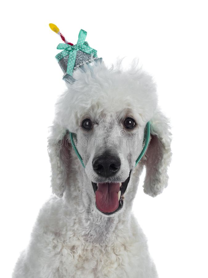 Testa sparata di re agghindato Poodle del whie su bianco fotografie stock