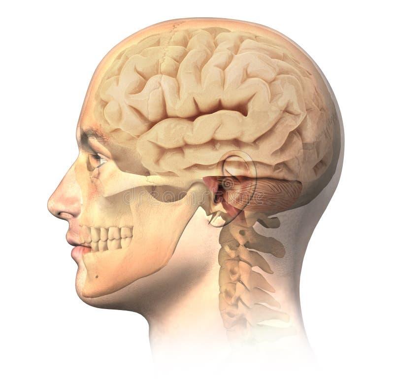 Testa umana maschio con il cranio e cervello nell'effetto del fantasma, vista laterale. illustrazione vettoriale