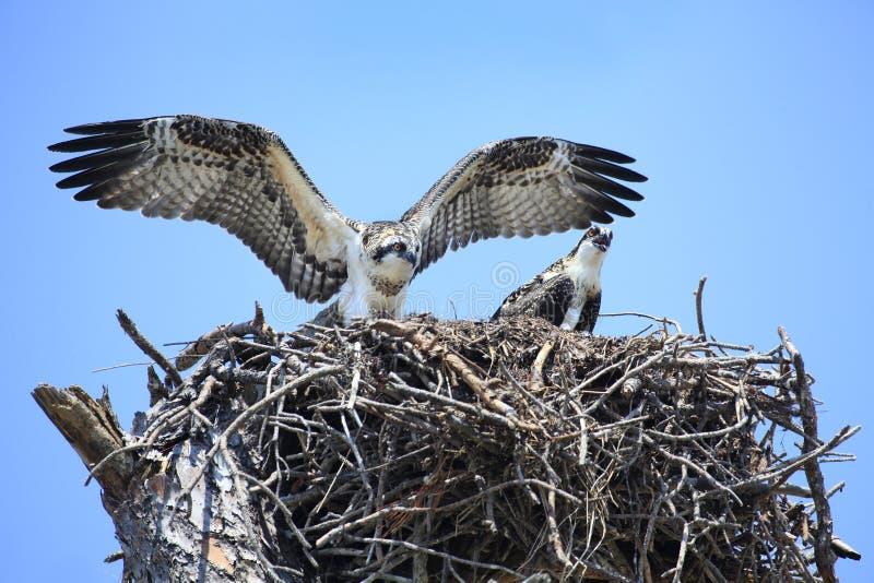 Teste adolescente da águia pescadora suas asas no ninho fotos de stock royalty free