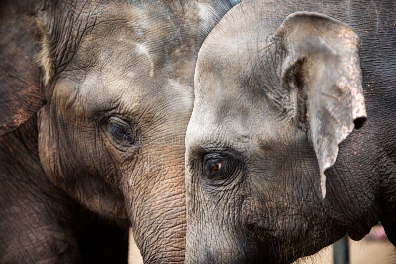 Teste degli elefanti asiatici immagine stock libera da diritti