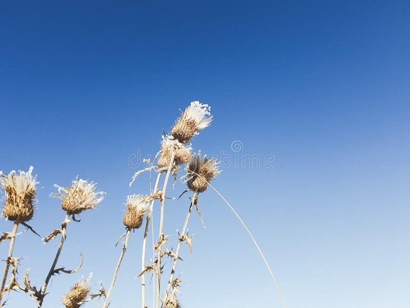 Teste del seme del cardo selvatico fotografia stock