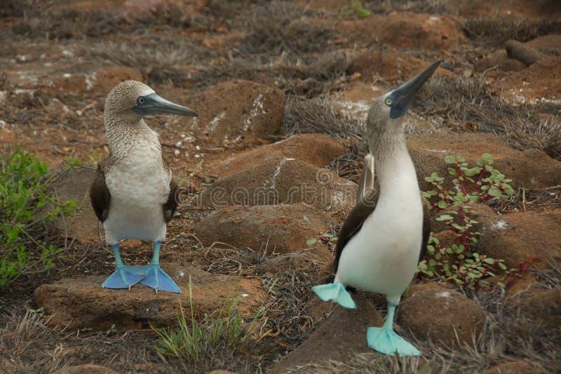 teste di legno Blu-footed che ballano nelle isole Galapagos immagini stock libere da diritti