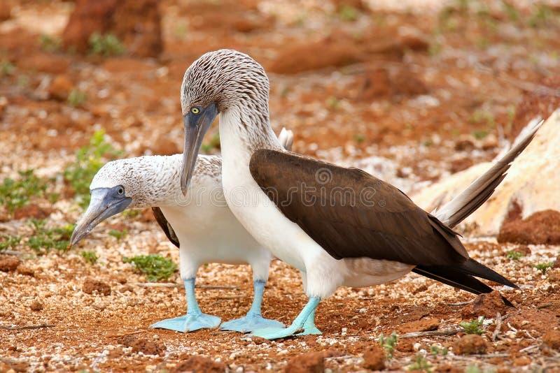 teste di legno Blu-footed che si accoppiano su Seymour Island del nord, Na di Galapagos fotografie stock