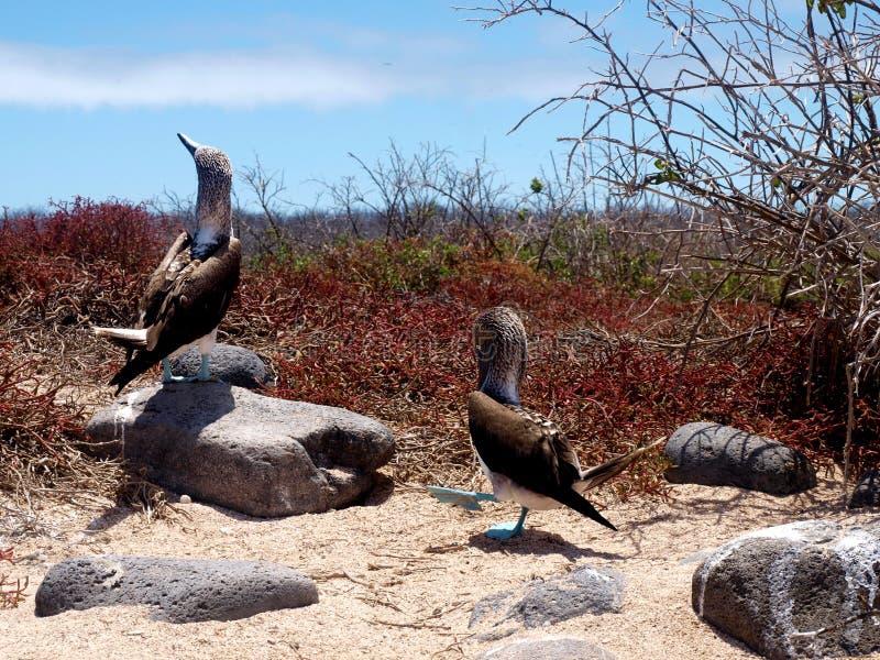 Teste di legno footed blu alle isole di galapagos fotografie stock