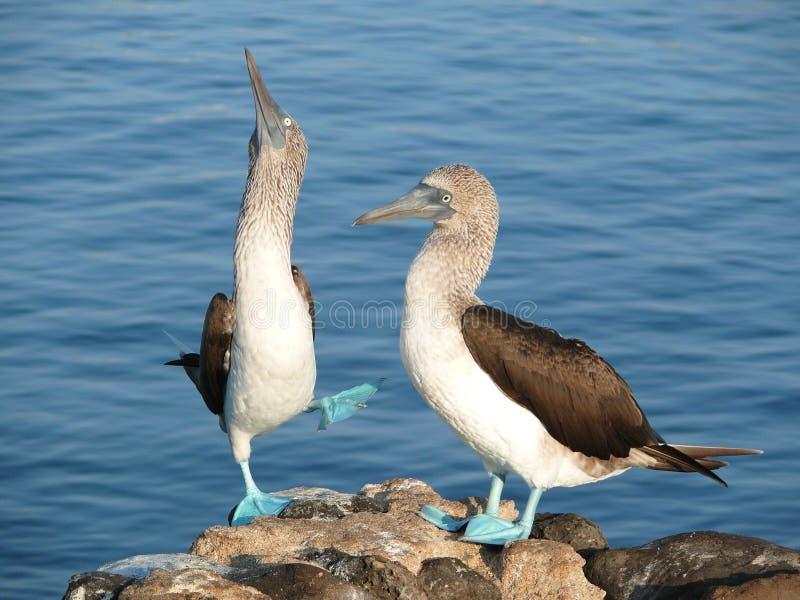 Teste di legno footed blu nelle isole Galapagos fotografia stock libera da diritti