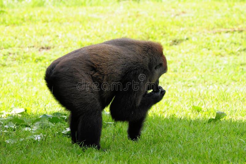 Teste do gorila da planície fotografia de stock