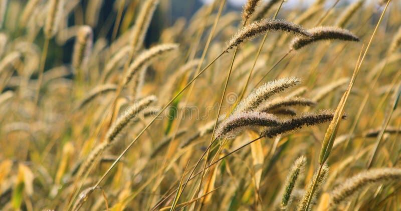 Teste dorate dell'erba in un prato fotografia stock libera da diritti