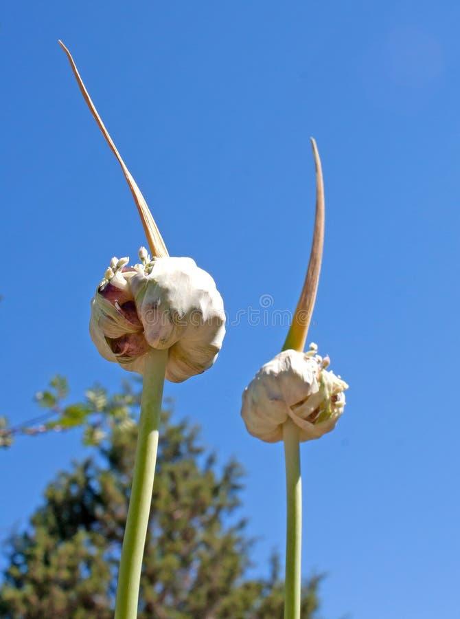 Teste egiziane del seme dell'aglio che crescono in un giardino immagine stock libera da diritti