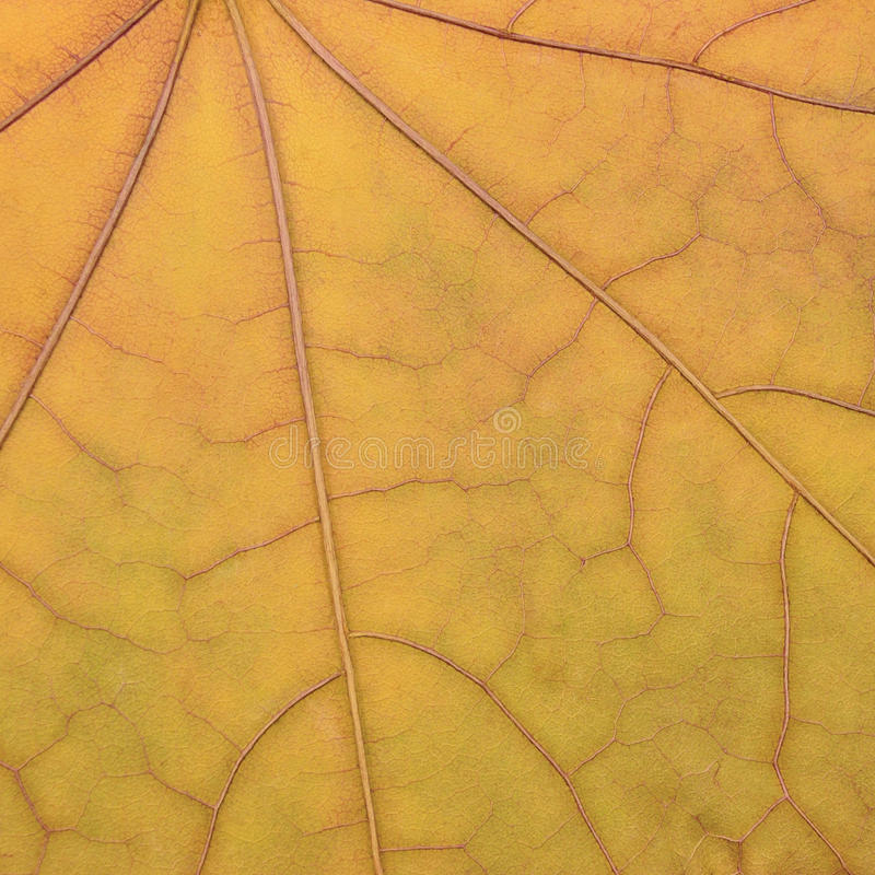 Teste padrão amarelo dourado caído da textura da folha de bordo, queda do outono fotos de stock royalty free