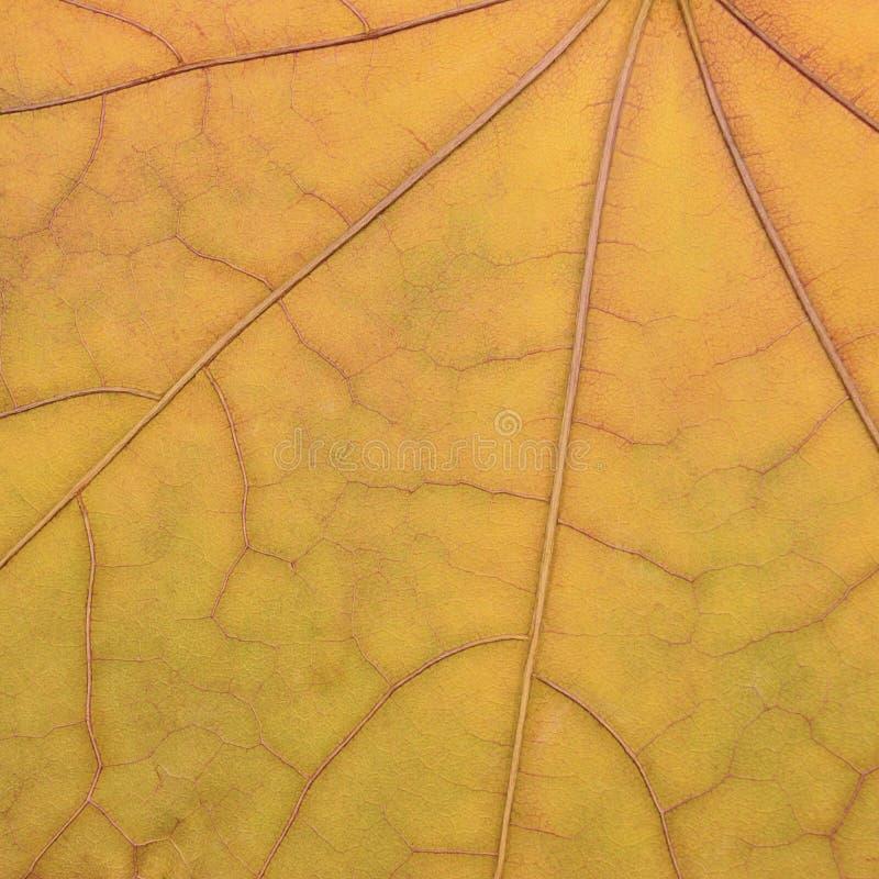 Teste padrão amarelo dourado caído da textura da folha de bordo, fundo do sumário do herbário do vintage do grunge da queda do ou imagens de stock