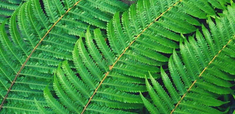 Teste padrão bonito das folhas verdes da samambaia com estilo azul do filtro para o fundo imagens de stock royalty free