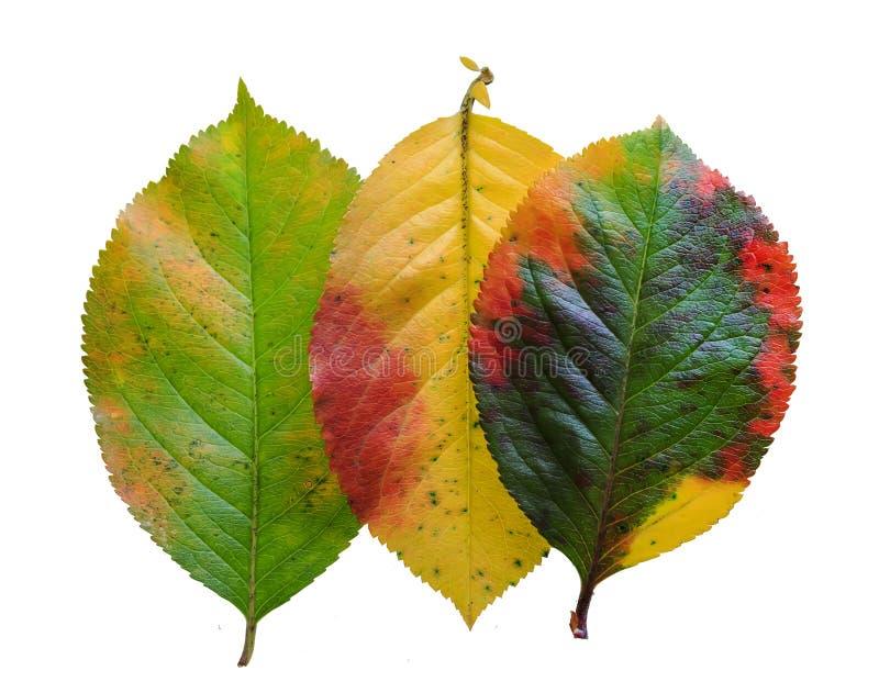 Teste padrão brilhantemente colorido Apple da folha do outono três no isolat branco imagem de stock royalty free