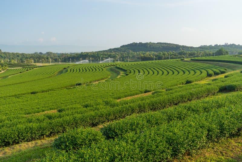 Teste padrão da curva da exploração agrícola do chá verde em Chiang Rai, Tailândia imagem de stock royalty free