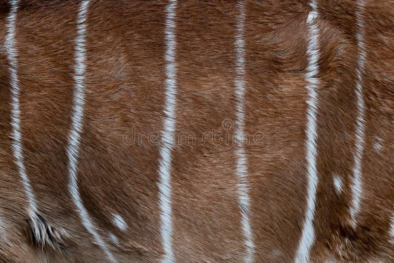 Teste padrão da pele do Nyala Close-up da pele do Nyala Couro natural animal fotografia de stock royalty free
