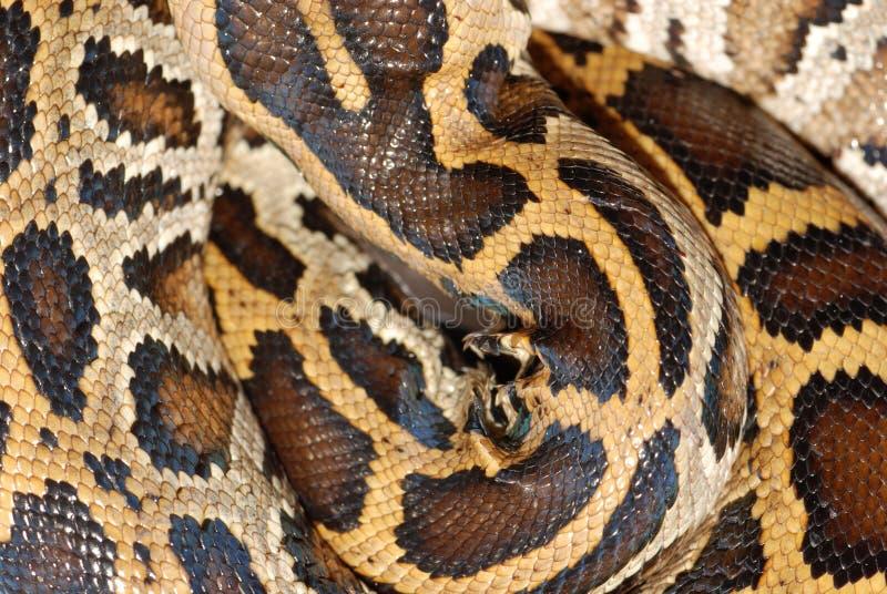 Teste padrão da serpente da boa fotos de stock