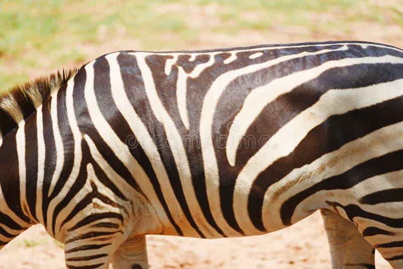 Teste padrão da zebra real - as planícies africanas da zebra pastam o campo de grama no parque nacional foto de stock royalty free