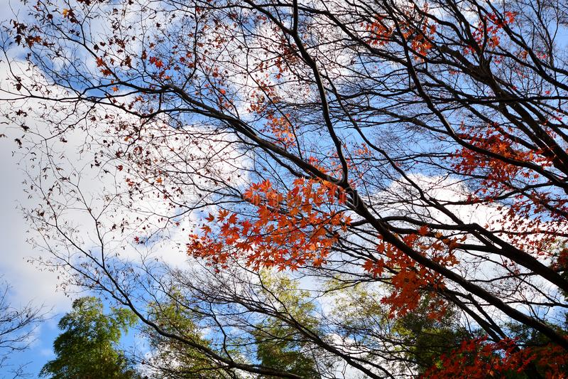 Teste padrão das árvores de floresta do outono Olhando acima o céu azul Vagabundos da natureza imagem de stock royalty free