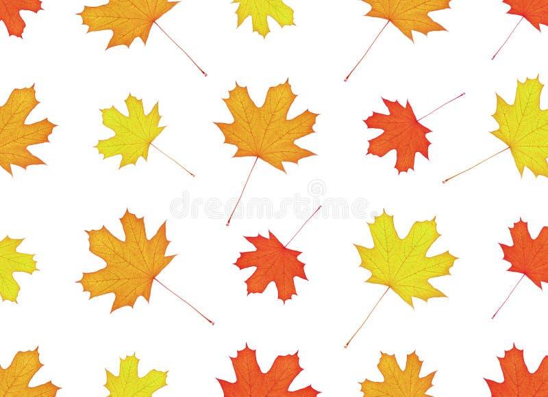 Teste padrão das folhas de bordo brilhantes Cores amarelas e alaranjadas defoliation fotografia de stock