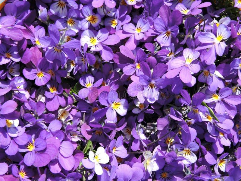 Teste padrão de flores do amor perfeito selvagem fotos de stock royalty free