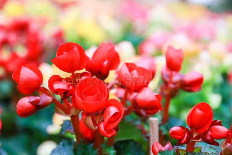 Teste padrão de flores naturais bonitas da begônia imagens de stock royalty free