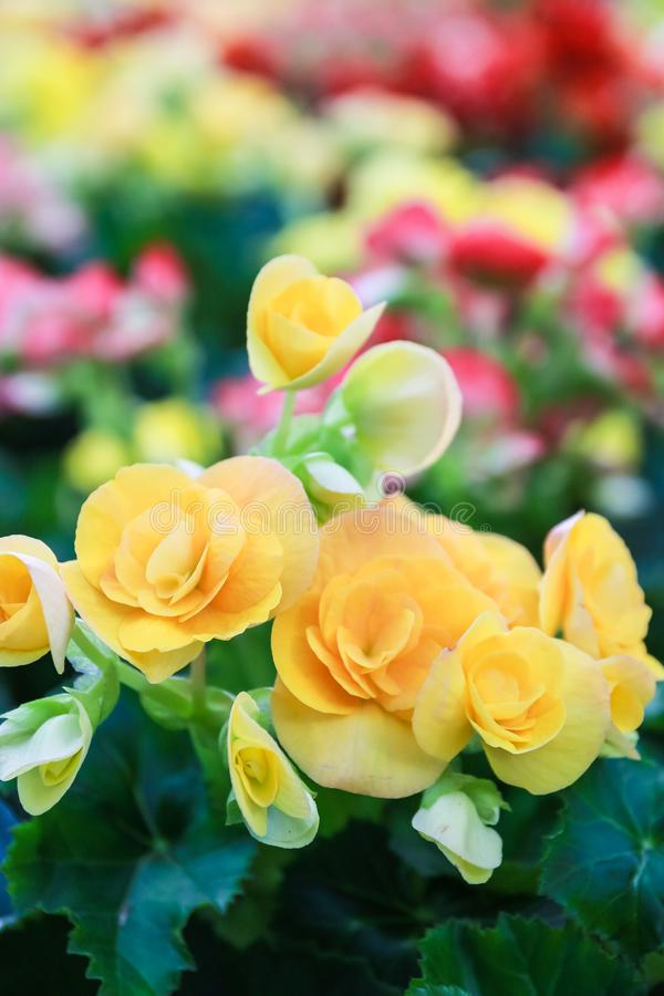 Teste padrão de flores naturais bonitas da begônia imagem de stock