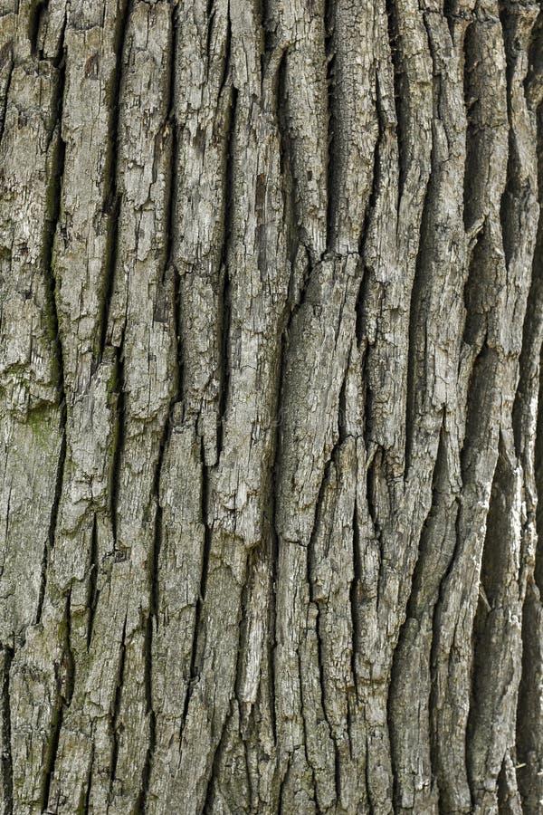 Teste padrão de madeira velho do fundo da textura da árvore fotos de stock royalty free