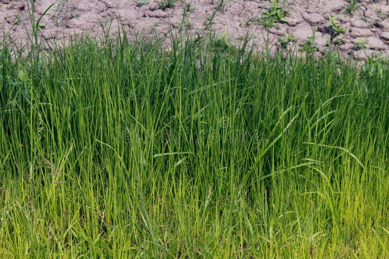Teste padrão de vista fresco do verde de grama Fundo bonito e tranquilo da natureza imagem de stock royalty free
