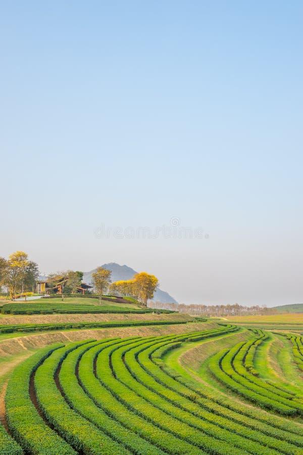 Teste padrão do campo do chá verde, Chiang Rai imagem de stock