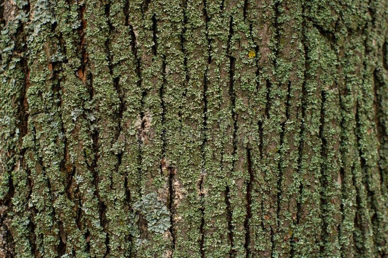 Teste padrão do fungo do musgo do líquene em uma casca de árvore fotos de stock royalty free