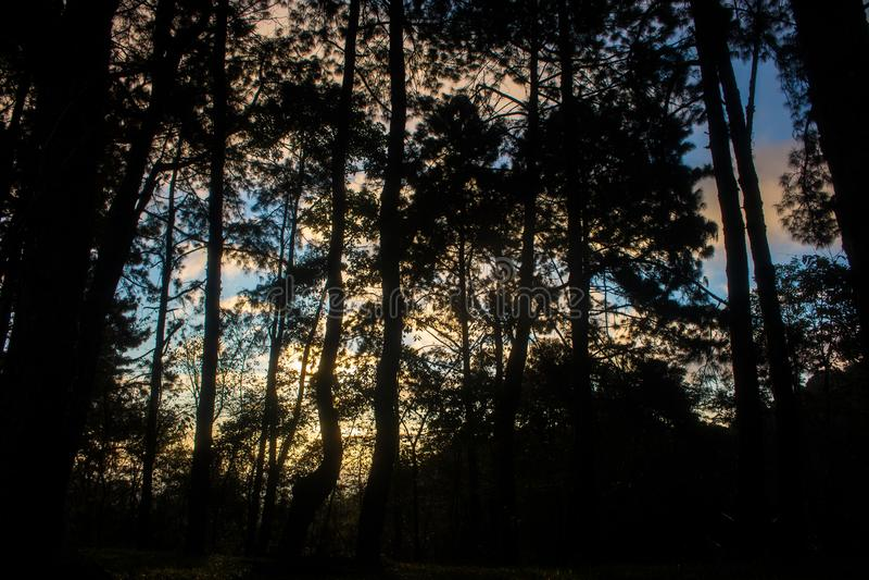 Teste padrão do pinheiro na floresta e no por do sol da natureza Ramo da silhueta imagem de stock