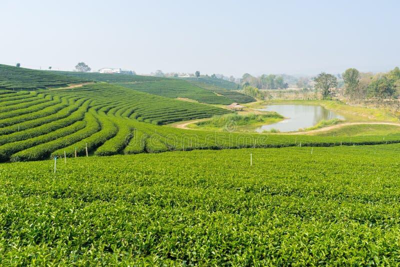 Teste padrão do terraço do chá verde fotos de stock