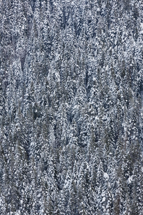Download Teste padrão dos abeto foto de stock. Imagem de floresta - 29832424