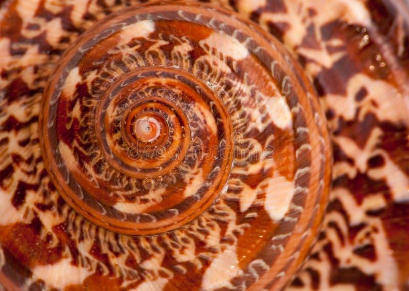 Teste padrão exterior do shell gigante do nautilus foto de stock