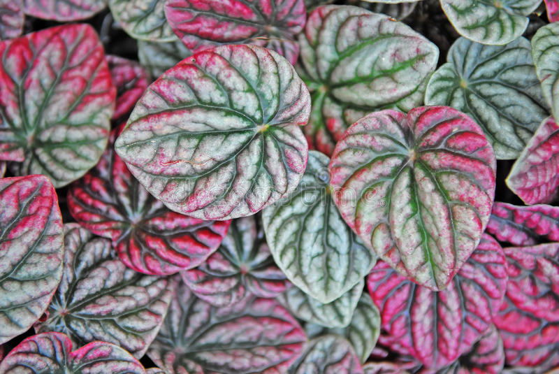 Teste padrão natural das folhas fotografia de stock royalty free