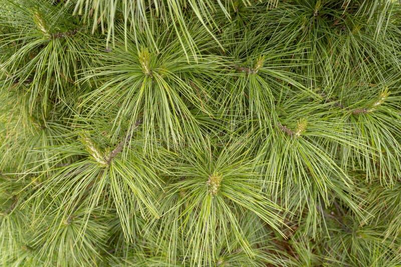 Teste padrão natural de ramos de árvore do Natal fotos de stock