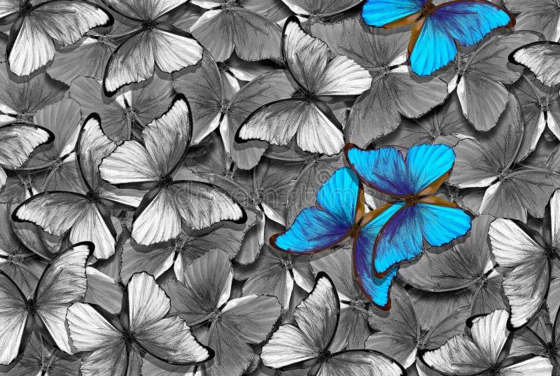Teste padrão natural preto e branco com acentos azuis teste padr?o abstrato de borboletas do morpho Asas de uma borboleta Morpho  imagem de stock royalty free