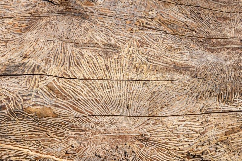 Teste padrão no log do tronco de árvore após dano causado pelo besouro de casca Fundo de madeira natural da textura fotos de stock