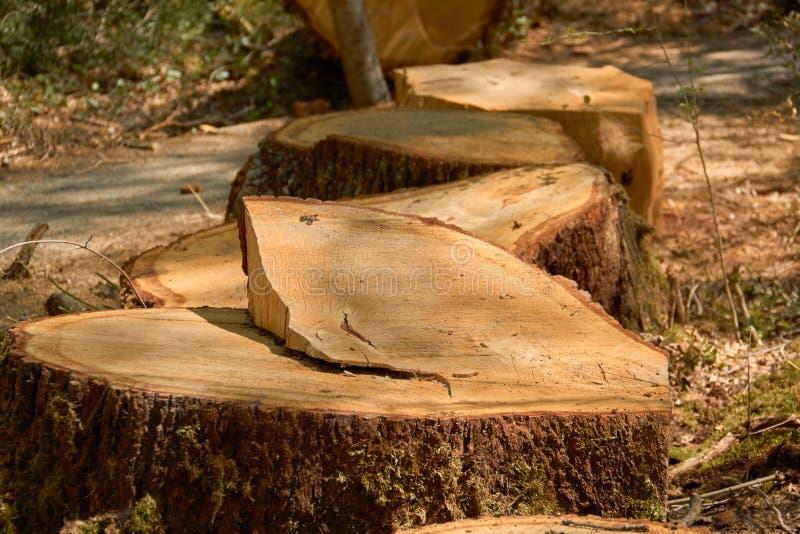 Teste padrão rachado e atarracado do tronco do carvalho fotografia de stock royalty free