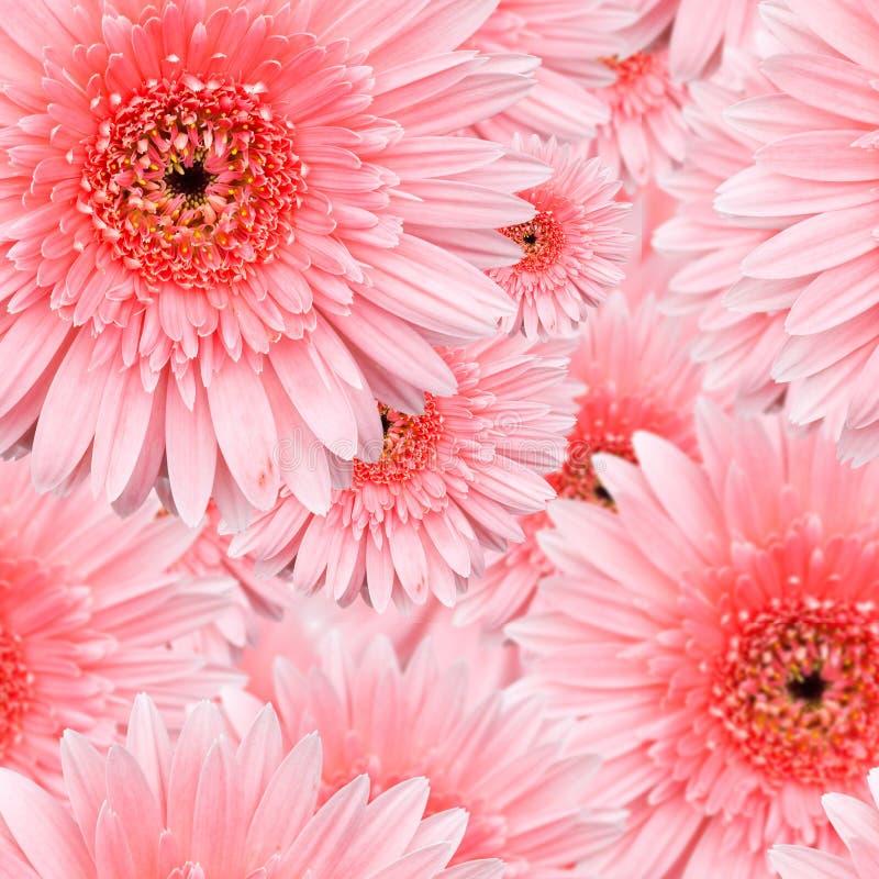 Teste padrão sem emenda do Gerbera cor-de-rosa foto de stock royalty free