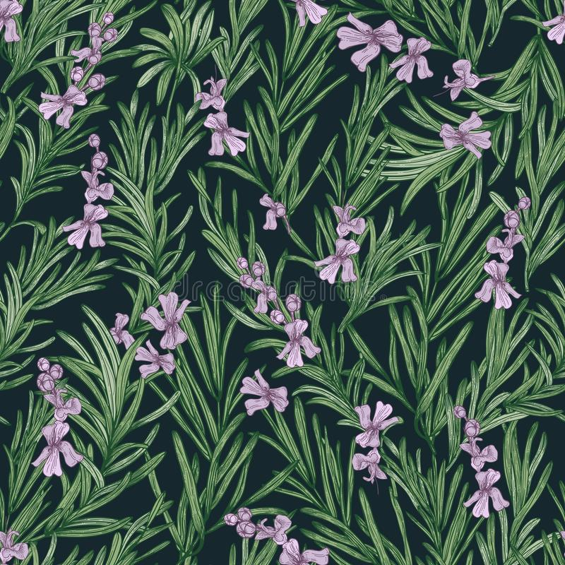 Teste padrão sem emenda floral com alecrins de florescência no fundo preto Contexto com a erva aromática selvagem vetor botânico ilustração royalty free